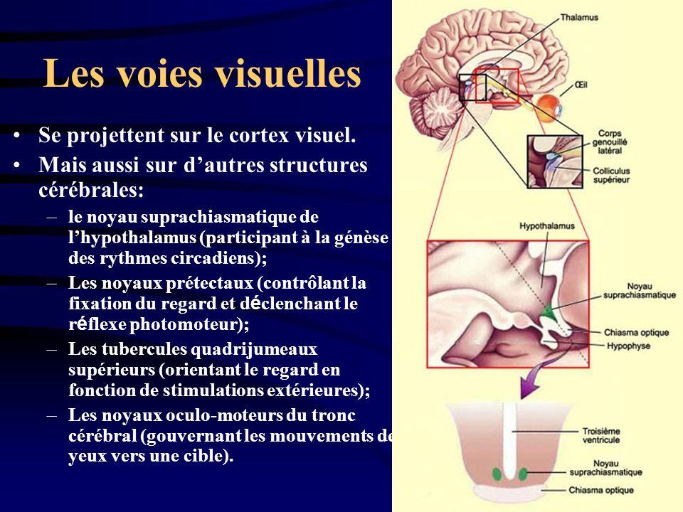 Les voies visuelles Se projettent sur le cortex visuel. Mais aussi sur dautres structures cérébrales: –le noyau suprachiasmatique de lhypothalamus (pa
