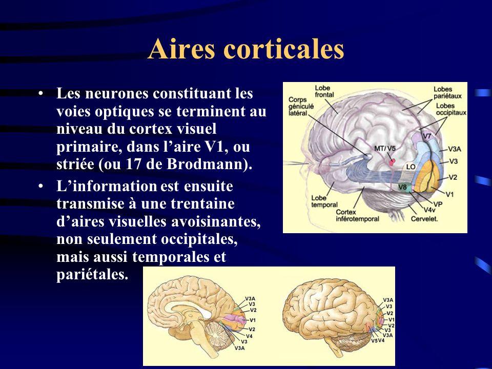 Aires corticales Les neurones constituant les voies optiques se terminent au niveau du cortex visuel primaire, dans laire V1, ou striée (ou 17 de Brod