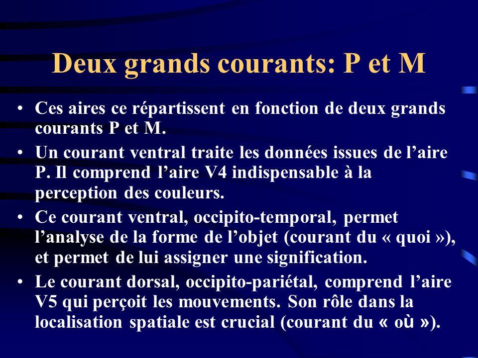 Deux grands courants: P et M Ces aires ce répartissent en fonction de deux grands courants P et M. Un courant ventral traite les données issues de lai