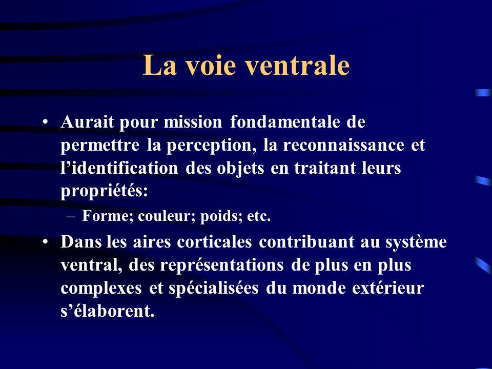 La voie ventrale Aurait pour mission fondamentale de permettre la perception, la reconnaissance et lidentification des objets en traitant leurs propri