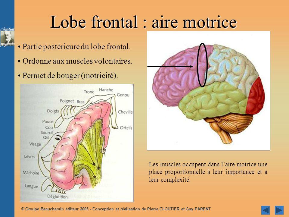 © Groupe Beauchemin éditeur 2005 - Conception et réalisation de Pierre CLOUTIER et Guy PARENT Partie postérieure du lobe frontal. Ordonne aux muscles