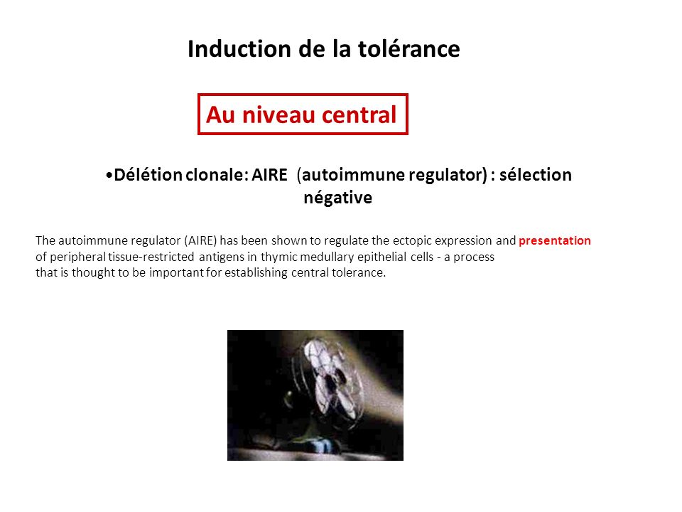 Induction de la tolérance Délétion clonale: AIRE (autoimmune regulator) : sélection négative Au niveau central The autoimmune regulator (AIRE) has been shown to regulate the ectopic expression and presentation of peripheral tissue-restricted antigens in thymic medullary epithelial cells - a process that is thought to be important for establishing central tolerance.