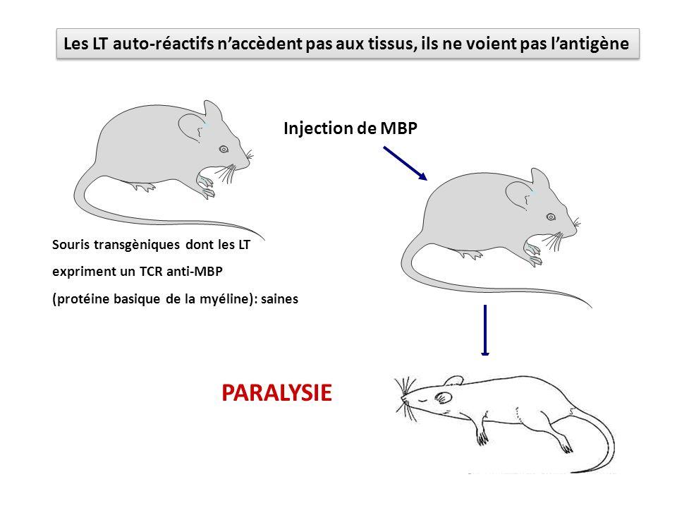 Injection de MBP PARALYSIE Souris transgèniques dont les LT expriment un TCR anti-MBP (protéine basique de la myéline): saines Les LT auto-réactifs na