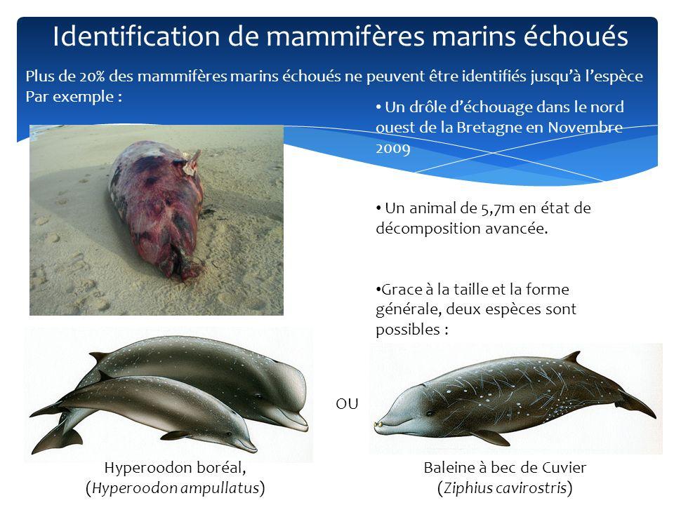 Identification de mammifères marins échoués Un drôle déchouage dans le nord ouest de la Bretagne en Novembre 2009 Un animal de 5,7m en état de décompo