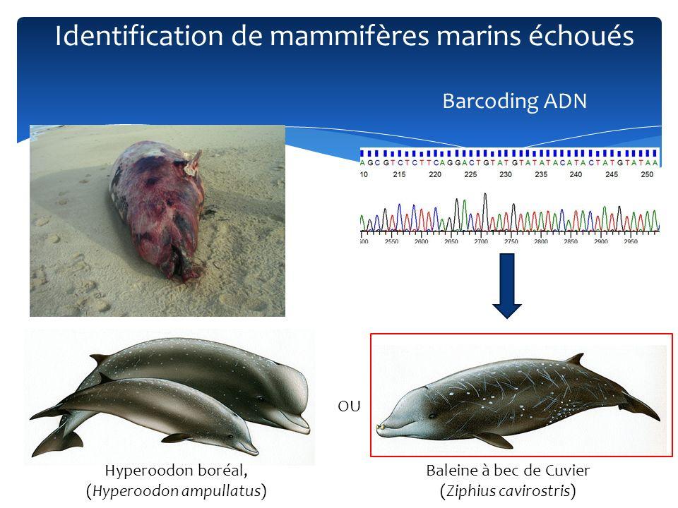 Hyperoodon boréal, (Hyperoodon ampullatus) OU Baleine à bec de Cuvier (Ziphius cavirostris) Barcoding ADN Identification de mammifères marins échoués