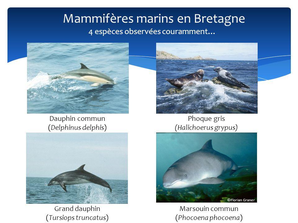 Mammifères marins en Bretagne Dauphin commun (Delphinus delphis) Phoque gris (Halichoerus grypus) Grand dauphin (Tursiops truncatus) ©Florian Graner M