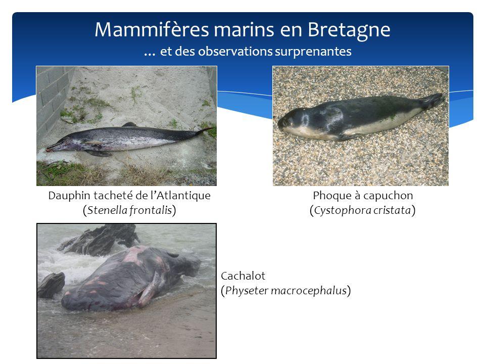 Mammifères marins en Bretagne Dauphin tacheté de lAtlantique (Stenella frontalis) Phoque à capuchon (Cystophora cristata) Cachalot (Physeter macroceph