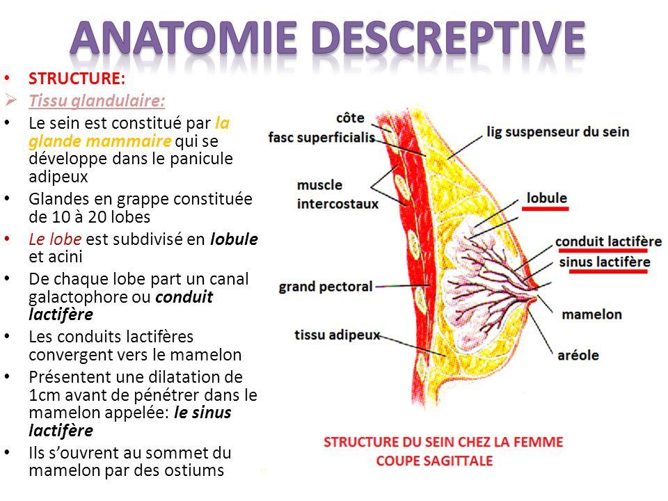 STRUCTURE: Tissu glandulaire: Le sein est constitué par la glande mammaire qui se développe dans le panicule adipeux Glandes en grappe constituée de 1