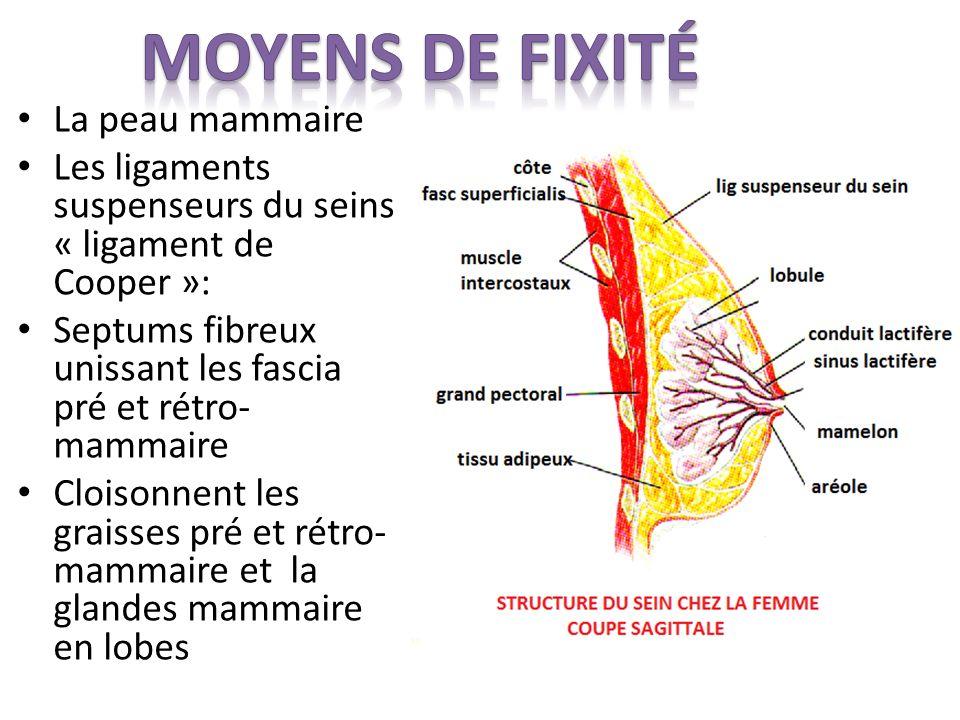 La peau mammaire Les ligaments suspenseurs du seins « ligament de Cooper »: Septums fibreux unissant les fascia pré et rétro- mammaire Cloisonnent les graisses pré et rétro- mammaire et la glandes mammaire en lobes