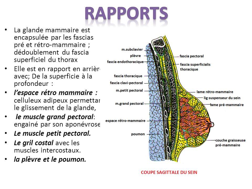 La glande mammaire est encapsulée par les fascias pré et rétro-mammaire ; dédoublement du fascia superficiel du thorax Elle est en rapport en arrière avec; De la superficie à la profondeur : lespace rétro mammaire : celluleux adipeux permettant le glissement de la glande, le muscle grand pectoral: engainé par son aponévrose.