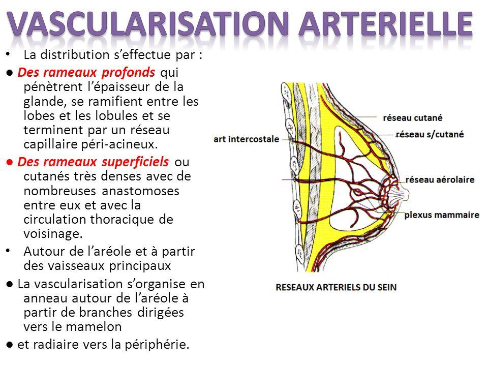 La distribution seffectue par : Des rameaux profonds qui pénètrent lépaisseur de la glande, se ramifient entre les lobes et les lobules et se terminent par un réseau capillaire péri-acineux.
