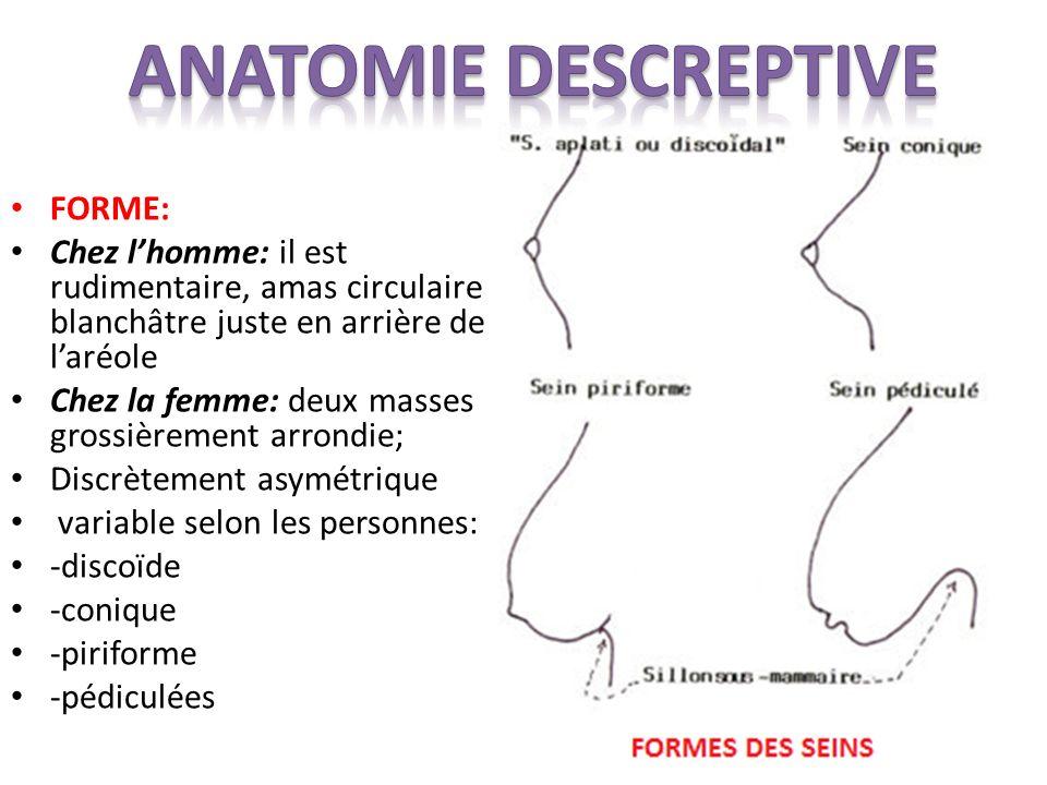 FORME: Chez lhomme: il est rudimentaire, amas circulaire blanchâtre juste en arrière de laréole Chez la femme: deux masses grossièrement arrondie; Discrètement asymétrique variable selon les personnes: -discoïde -conique -piriforme -pédiculées