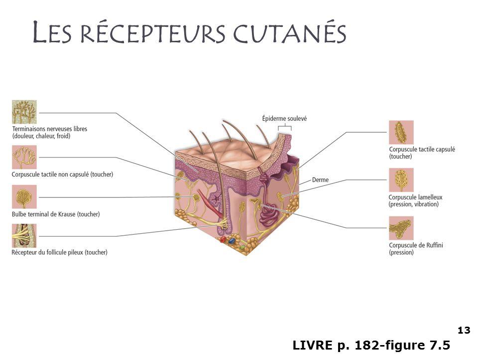 L ES RÉCEPTEURS CUTANÉS LIVRE p. 182-figure 7.5 13