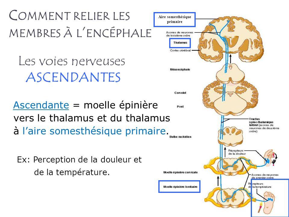 C OMMENT RELIER LES MEMBRES À L ENCÉPHALE Ascendante = moelle épinière vers le thalamus et du thalamus à laire somesthésique primaire. Ex: Perception