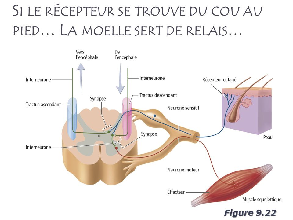 15 S I LE RÉCEPTEUR SE TROUVE DU COU AU PIED … L A MOELLE SERT DE RELAIS … Figure 9.22