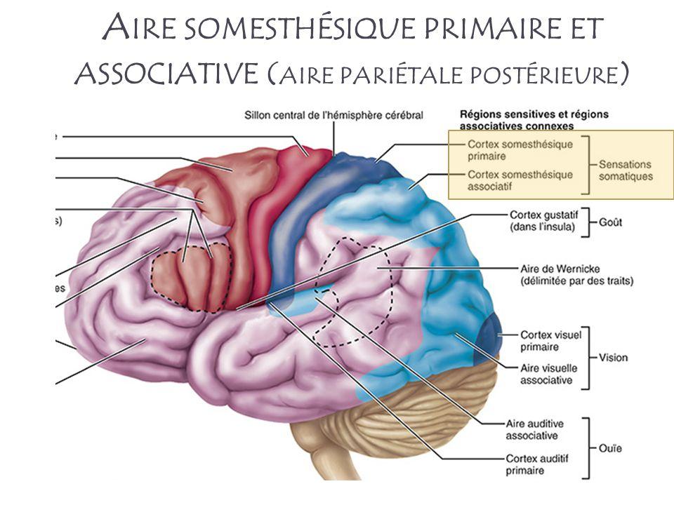 A IRE SOMESTHÉSIQUE PRIMAIRE ET ASSOCIATIVE ( AIRE PARIÉTALE POSTÉRIEURE )