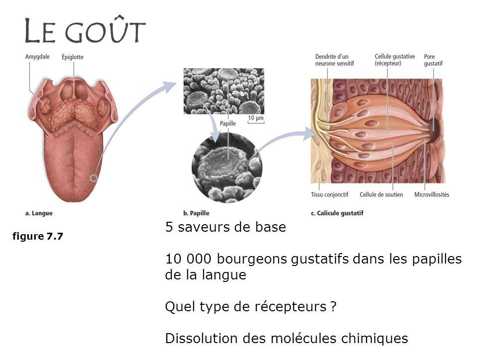 L E GOÛT figure 7.7 5 saveurs de base 10 000 bourgeons gustatifs dans les papilles de la langue Quel type de récepteurs ? Dissolution des molécules ch