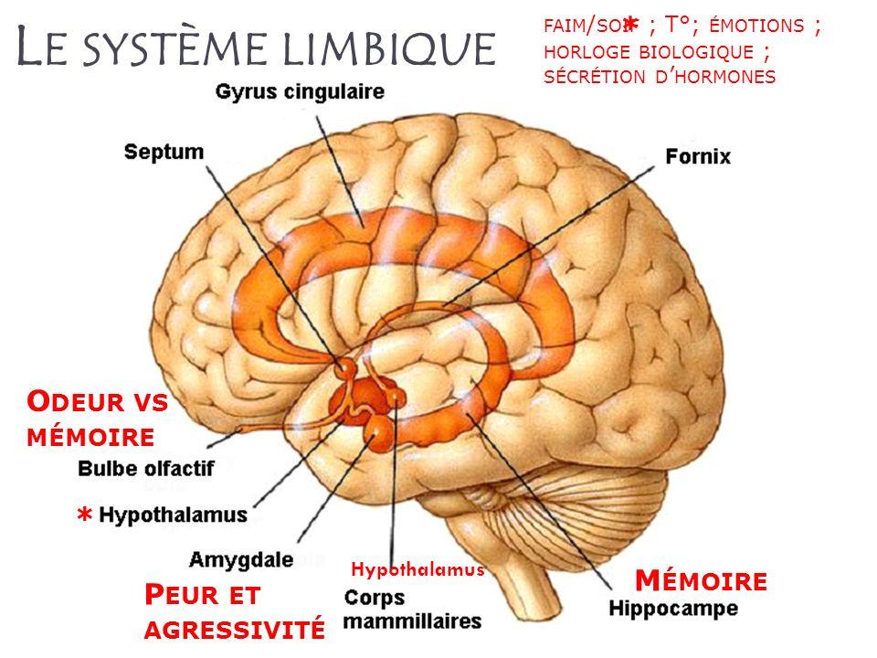L E SYSTÈME LIMBIQUE P EUR ET AGRESSIVITÉ M ÉMOIRE O DEUR VS MÉMOIRE FAIM / SOIF ; T°; ÉMOTIONS ; HORLOGE BIOLOGIQUE ; SÉCRÉTION D HORMONES * * Hypoth