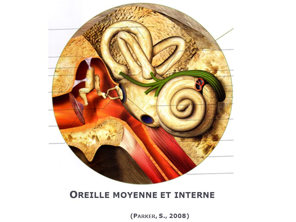 O REILLE MOYENNE ET INTERNE (P ARKER, S., 2008)