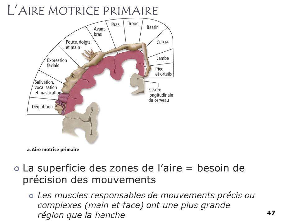 47 La superficie des zones de laire = besoin de précision des mouvements Les muscles responsables de mouvements précis ou complexes (main et face) ont