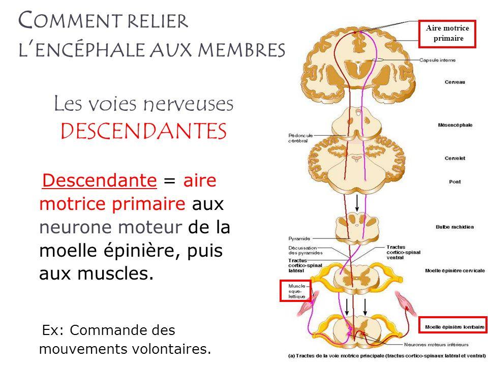 Les voies nerveuses DESCENDANTES Descendante = aire motrice primaire aux neurone moteur de la moelle épinière, puis aux muscles. Ex: Commande des mouv