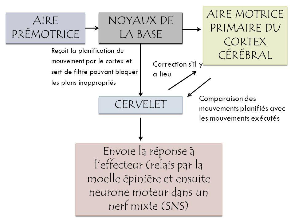 NOYAUX DE LA BASE AIRE PRÉMOTRICE CERVELET AIRE MOTRICE PRIMAIRE DU CORTEX CÉRÉBRAL Envoie la réponse à leffecteur (relais par la moelle épinière et e