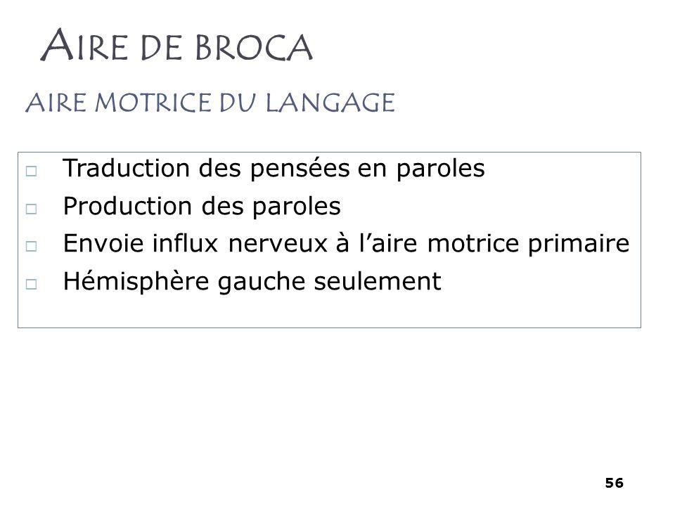 56 A IRE DE BROCA Traduction des pensées en paroles Production des paroles Envoie influx nerveux à laire motrice primaire Hémisphère gauche seulement