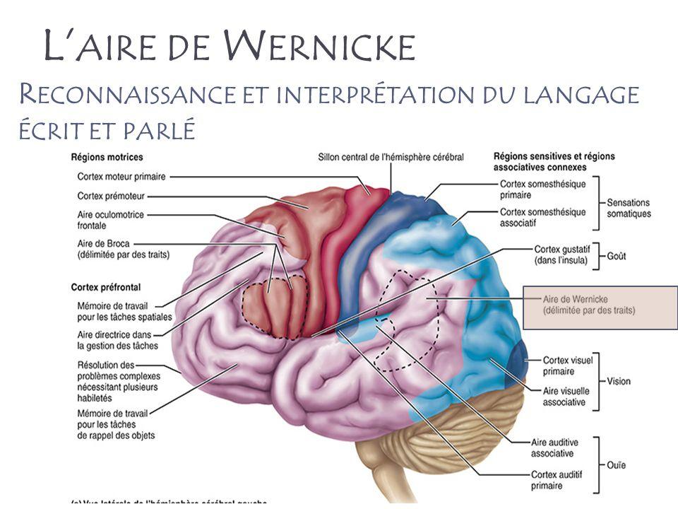 57 L AIRE DE W ERNICKE R ECONNAISSANCE ET INTERPRÉTATION DU LANGAGE ÉCRIT ET PARLÉ