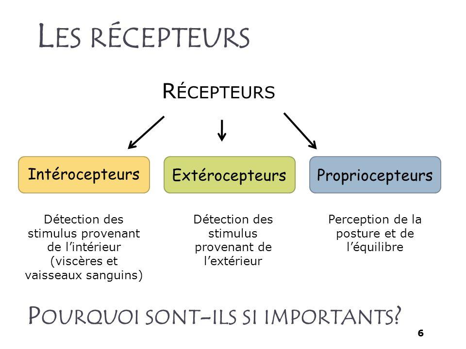 6 L ES RÉCEPTEURS R ÉCEPTEURS Intérocepteurs ExtérocepteursPropriocepteurs Perception de la posture et de léquilibre Détection des stimulus provenant