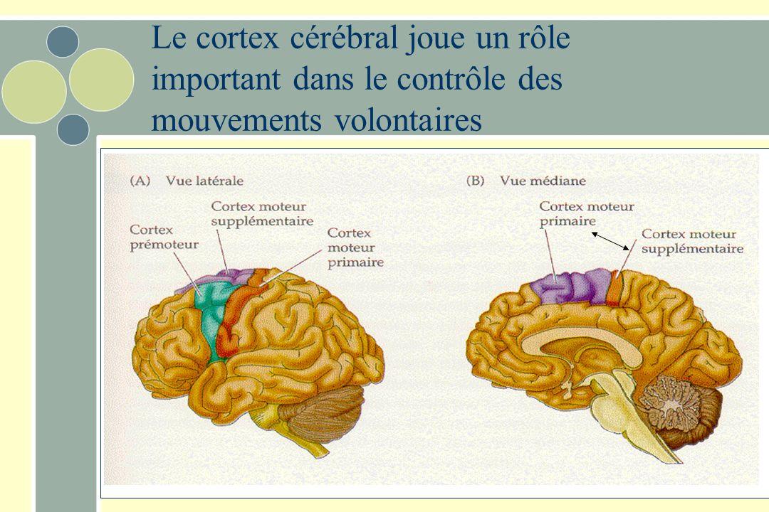 Le cortex cérébral joue un rôle important dans le contrôle des mouvements volontaires
