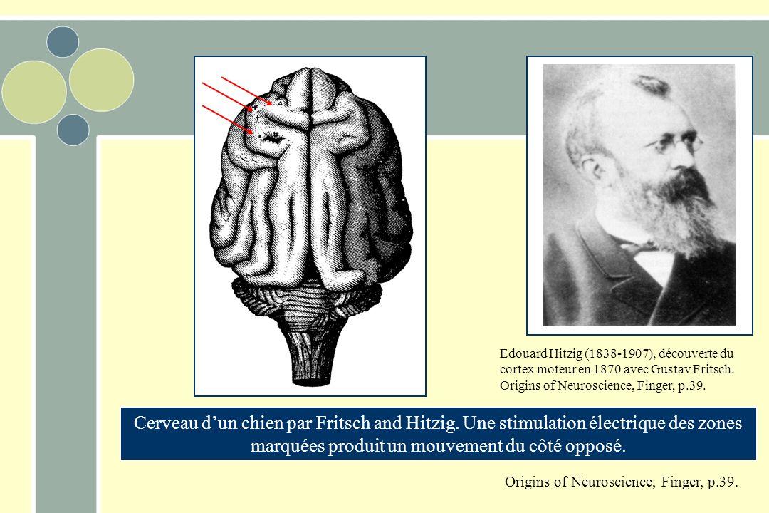 Edouard Hitzig (1838-1907), découverte du cortex moteur en 1870 avec Gustav Fritsch. Origins of Neuroscience, Finger, p.39. Cerveau dun chien par Frit