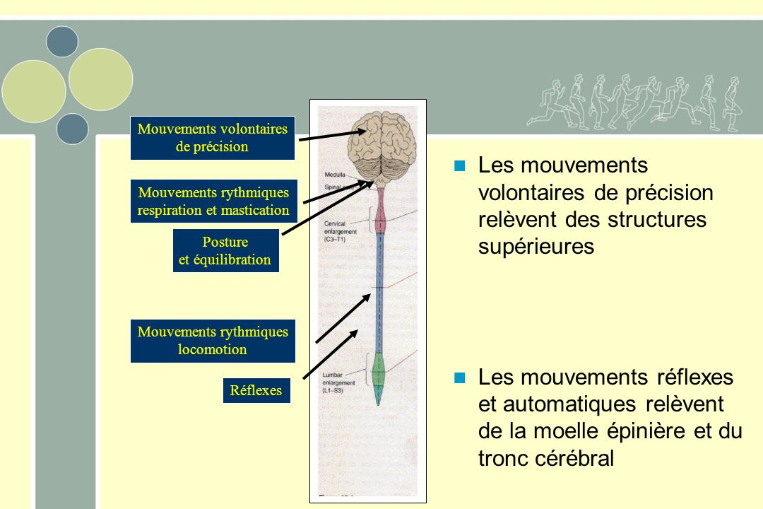 Mouvements volontaires de précision Mouvements rythmiques respiration et mastication Réflexes Mouvements rythmiques locomotion Posture et équilibration Les mouvements volontaires de précision relèvent des structures supérieures Les mouvements réflexes et automatiques relèvent de la moelle épinière et du tronc cérébral
