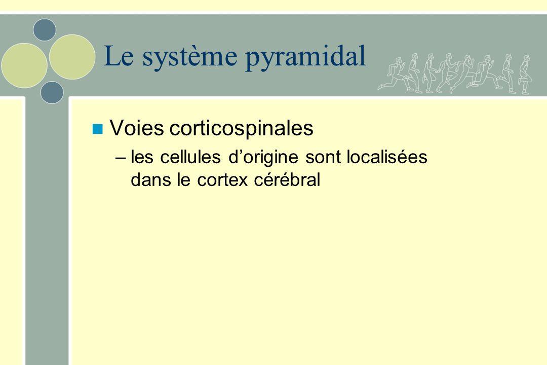 Le système pyramidal Voies corticospinales –les cellules dorigine sont localisées dans le cortex cérébral