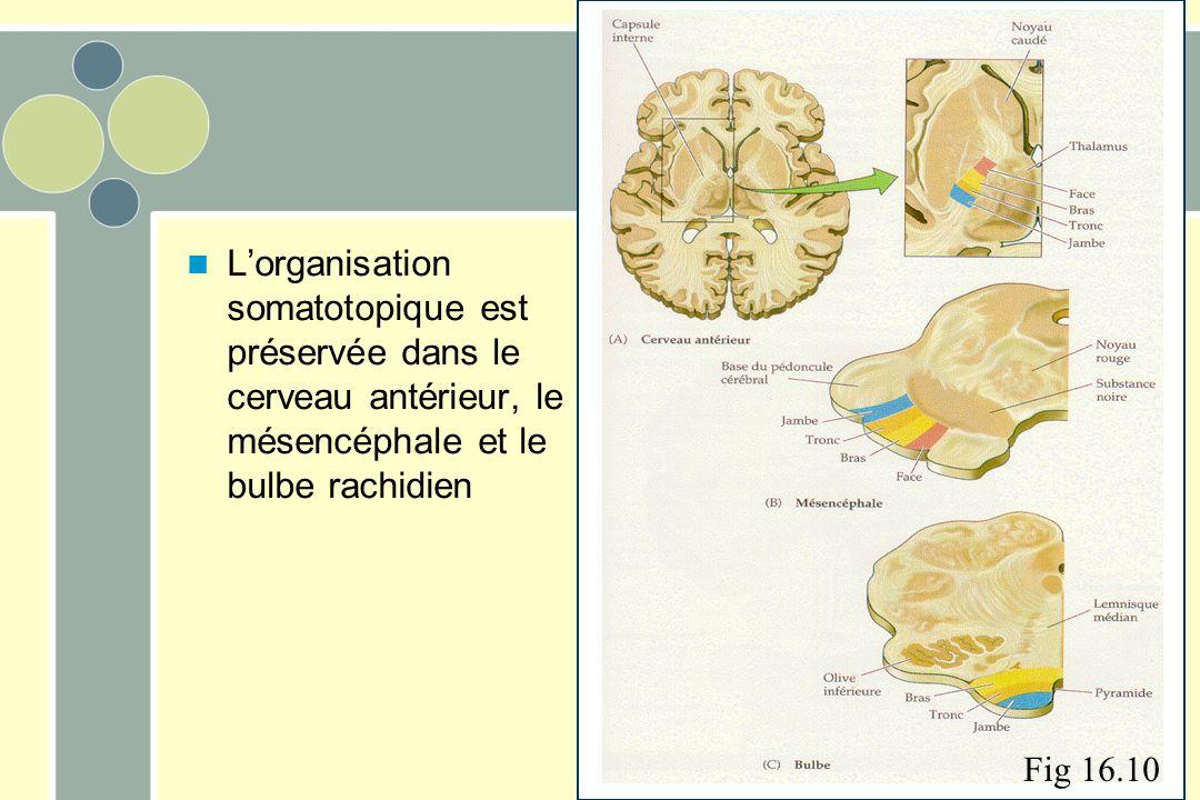 Fig 16.10 Lorganisation somatotopique est préservée dans le cerveau antérieur, le mésencéphale et le bulbe rachidien