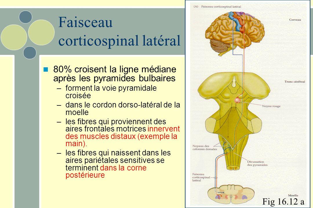Faisceau corticospinal latéral 80% croisent la ligne médiane après les pyramides bulbaires –forment la voie pyramidale croisée –dans le cordon dorso-latéral de la moelle –les fibres qui proviennent des aires frontales motrices innervent des muscles distaux (exemple la main).