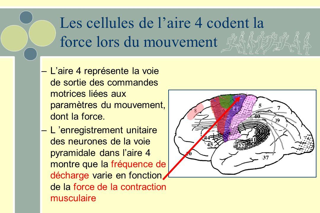 Les cellules de laire 4 codent la force lors du mouvement –Laire 4 représente la voie de sortie des commandes motrices liées aux paramètres du mouvement, dont la force.