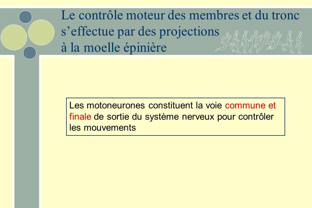 Le contrôle moteur des membres et du tronc seffectue par des projections à la moelle épinière Les motoneurones constituent la voie commune et finale de sortie du système nerveux pour contrôler les mouvements