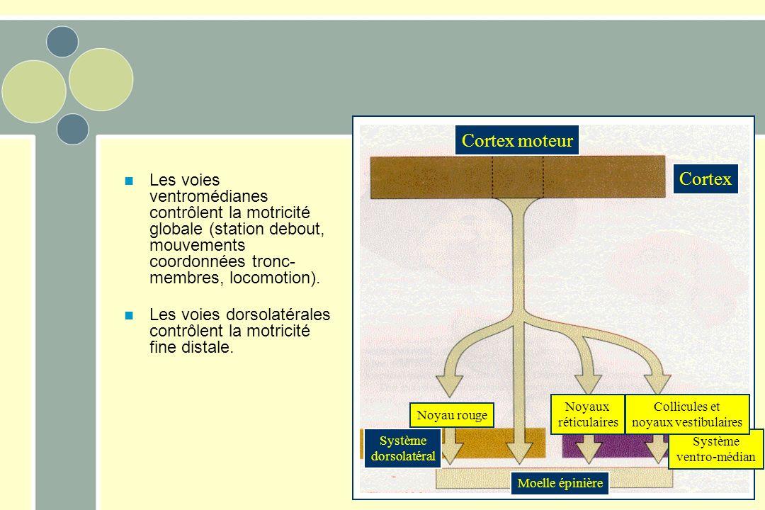 Les voies ventromédianes contrôlent la motricité globale (station debout, mouvements coordonnées tronc- membres, locomotion). Les voies dorsolatérales