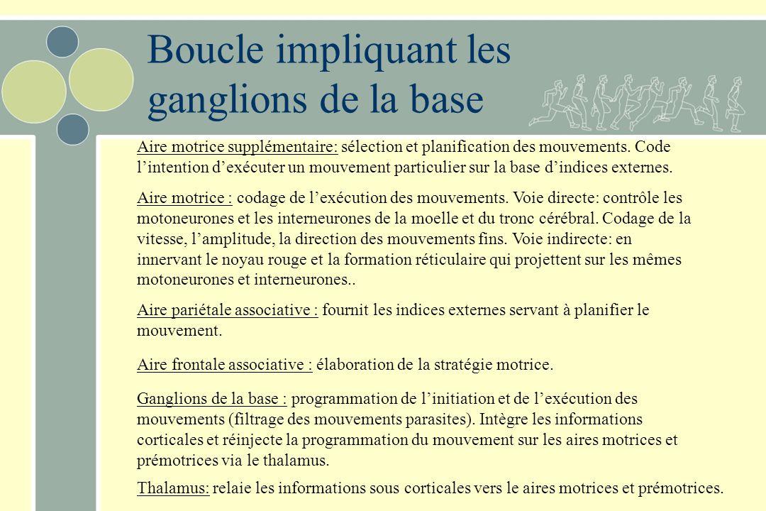 Boucle impliquant les ganglions de la base Aire motrice supplémentaire: sélection et planification des mouvements.