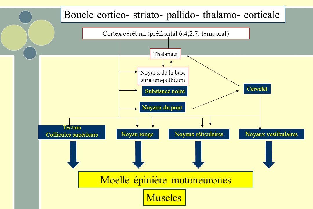 Moelle épinière motoneurones Muscles Tectum Collicules supérieurs Noyau rougeNoyaux réticulairesNoyaux vestibulaires Noyaux du pont Noyaux de la base striatum-pallidum Thalamus Substance noire Cortex cérébral (préfrontal 6,4,2,7, temporal) Cervelet Boucle cortico- striato- pallido- thalamo- corticale