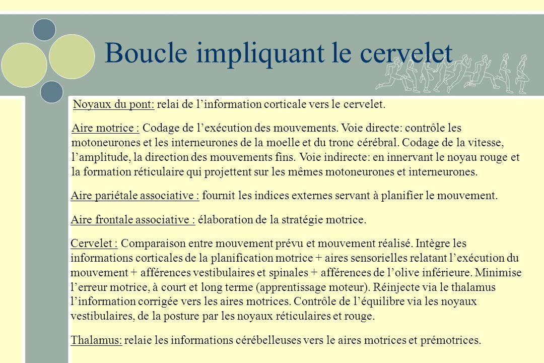 Boucle impliquant le cervelet Noyaux du pont: relai de linformation corticale vers le cervelet. Aire motrice : Codage de lexécution des mouvements. Vo