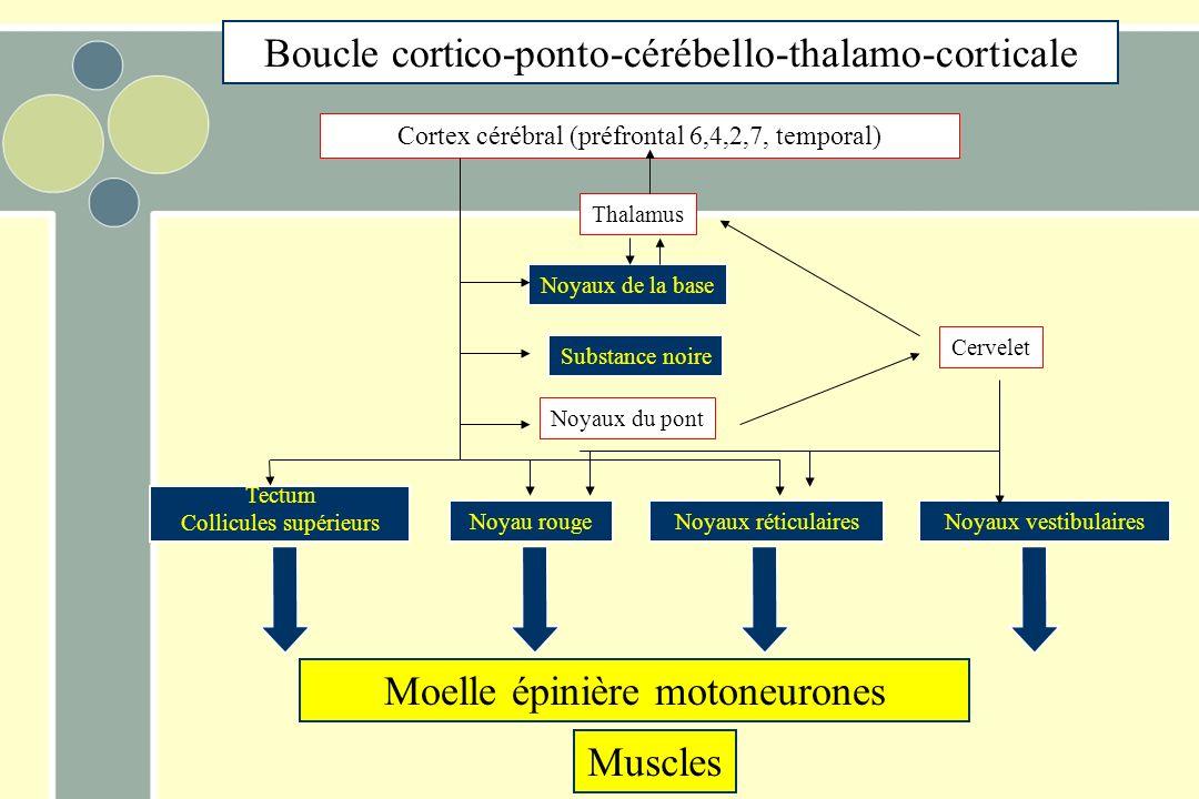 Moelle épinière motoneurones Muscles Tectum Collicules supérieurs Noyau rougeNoyaux réticulairesNoyaux vestibulaires Noyaux du pont Noyaux de la base Thalamus Substance noire Cortex cérébral (préfrontal 6,4,2,7, temporal) Cervelet Boucle cortico-ponto-cérébello-thalamo-corticale