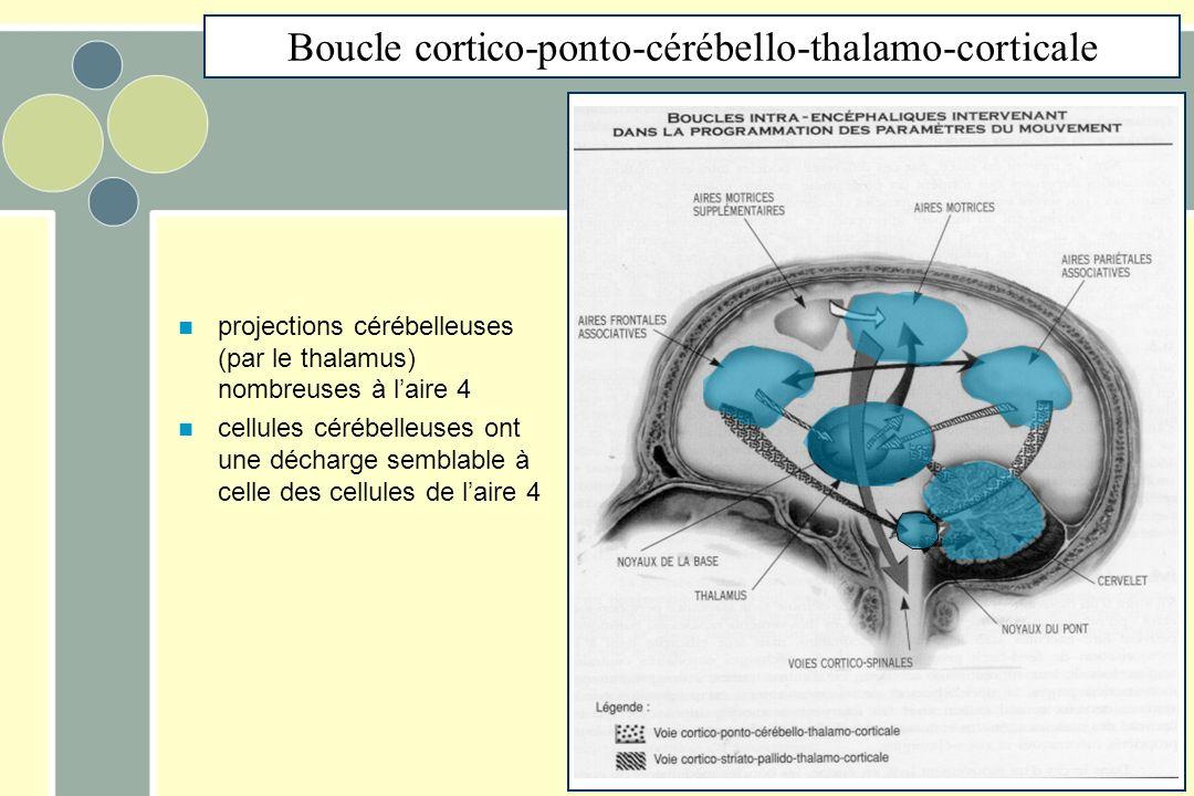 projections cérébelleuses (par le thalamus) nombreuses à laire 4 cellules cérébelleuses ont une décharge semblable à celle des cellules de laire 4 Boucle cortico-ponto-cérébello-thalamo-corticale