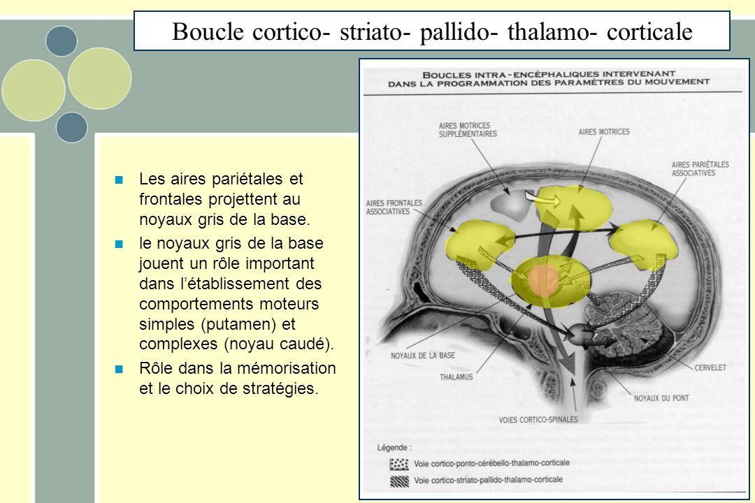 Boucle cortico- striato- pallido- thalamo- corticale Les aires pariétales et frontales projettent au noyaux gris de la base. le noyaux gris de la base