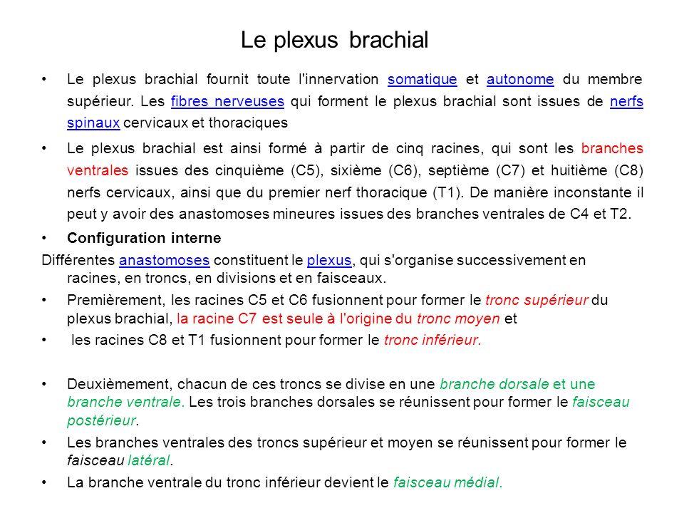 Le plexus brachial Le plexus brachial fournit toute l innervation somatique et autonome du membre supérieur.