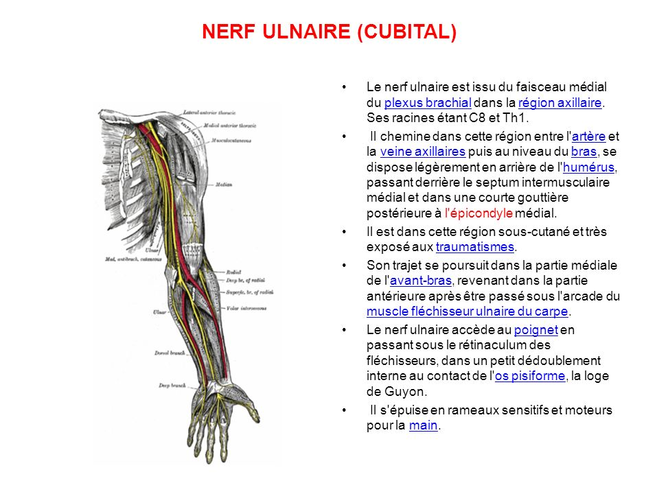 NERF ULNAIRE (CUBITAL) Le nerf ulnaire est issu du faisceau médial du plexus brachial dans la région axillaire.