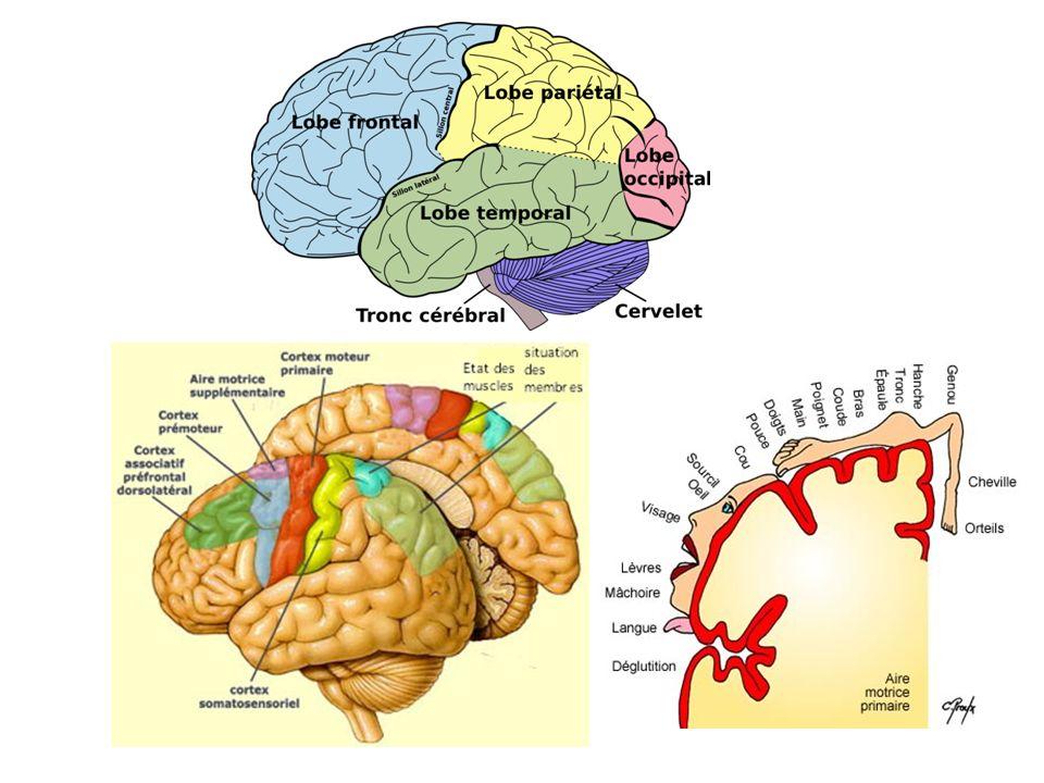 NERF ULNAIRE (CUBITAL) C est le nerf de préhension et des mouvements latéraux des doigts –La compression au coude (gouttière épitrochléeo-olécrânienne) est le siège d atteinte le plus fréquent.