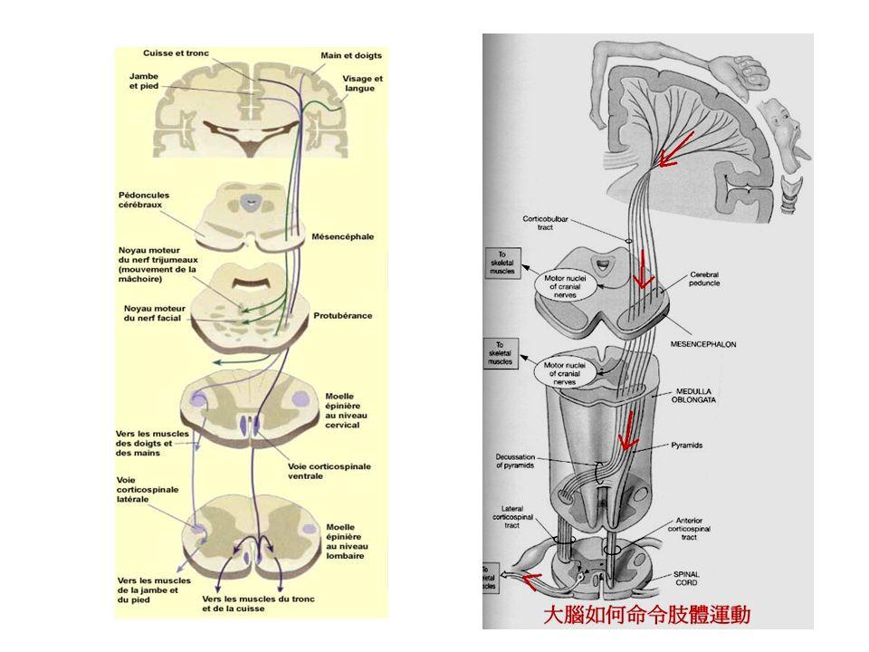 Neurone moteur inférieur (LMN) Les cellules motrices des noyaux des nerfs crâniens du tronc cérébral et les cellules de la corne antérieure de la moelle épinière sont neurones moteurs inférieurs.