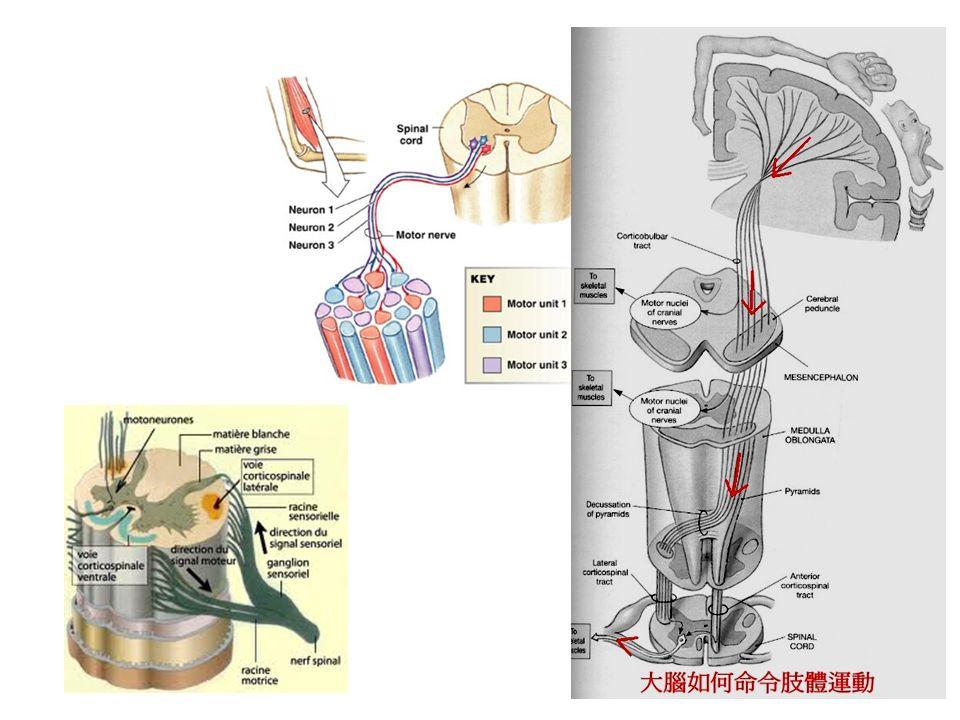 La fonction motrice est schématisée en myotomes.
