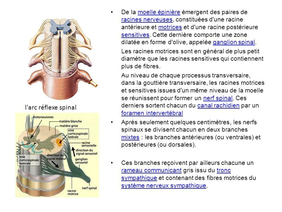 De la moelle épinière émergent des paires de racines nerveuses, constituées d une racine antérieure et motrices et d une racine postérieure sensitives.